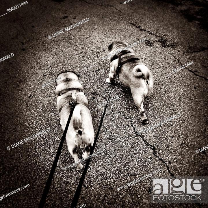 Stock Photo: Walking two pugs.