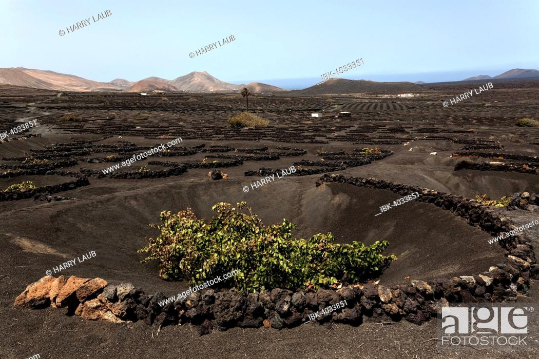Stock Photo: Typical vineyards in dry cultivation in volcanic ash, lava, vine, vineyard La Geria, Lanzarote, Canary Islands, Spain.