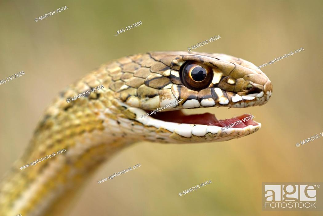 Stock Photo: Montpelier Snake (Malpolon monspessulanus).