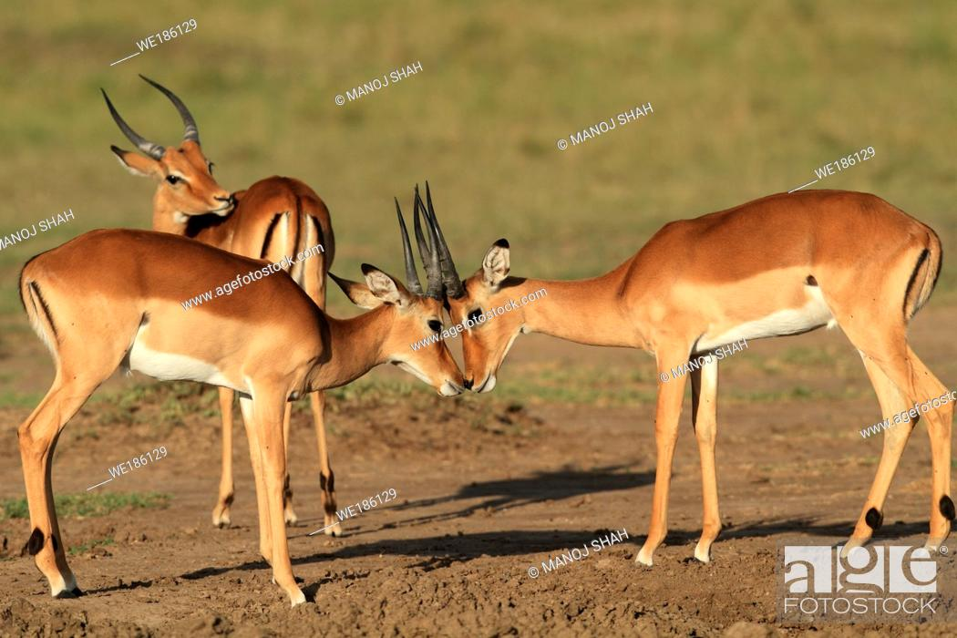 Stock Photo: Impalas: after fighting, the males make up by greeting each other, Maasai Mara Game Reserve, Kenya.