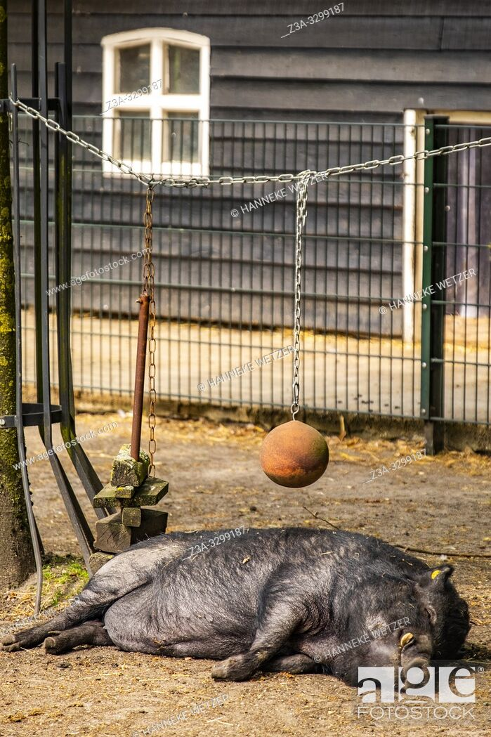 Photo de stock: Pig sleeping at a farm in the Netherlands, Europe.