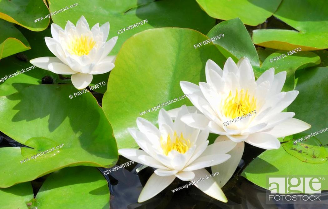 Stock Photo: White water lily.