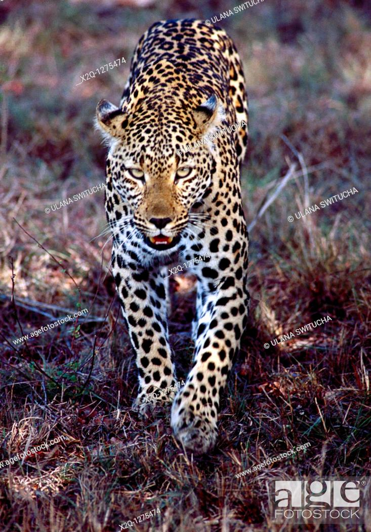Stock Photo: A young leopard at Kruger National Park in South Africa.