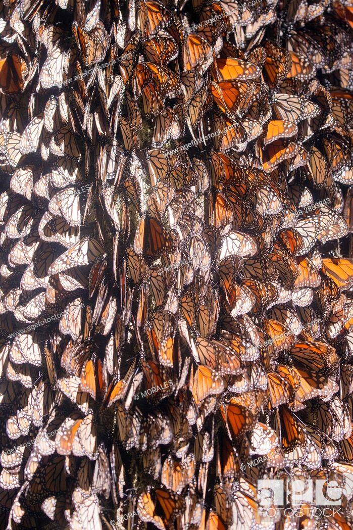 Imagen: Central America, Mexico, State of Michoacan, Angangueo, Reserve of the Biosfera Monarca El Rosario, monarch butterfly (Danaus plexippus).