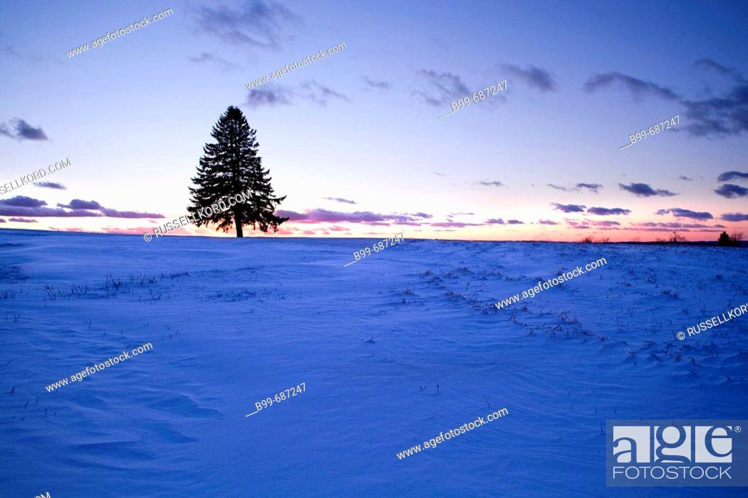 Stock Photo: Lone Fir Tree Silhouette.