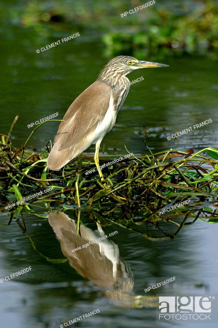 Stock Photo: A Chinese Pond Heron.