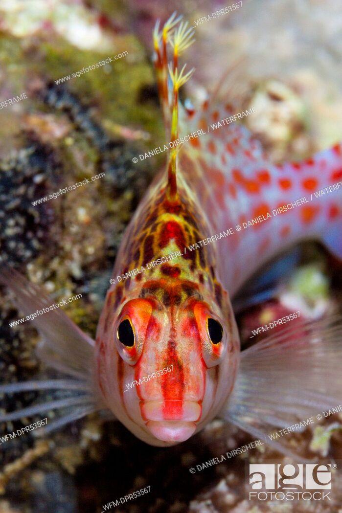Stock Photo: Dwarf Hawkfish, Cirrhitichthys falco, Florida Islands, Solomon Islands.