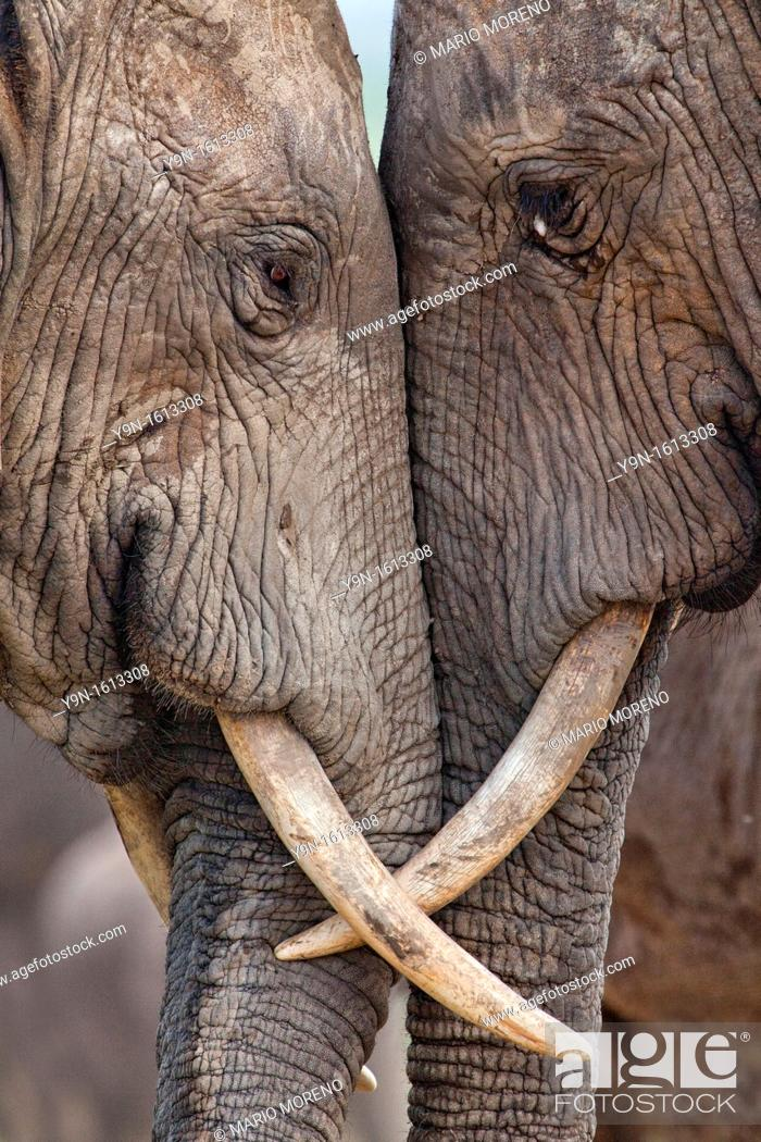 Stock Photo: Two adult elephants Loxodonta africana interacting at Hapoor Dam in Addo Elephant National Park, South Africa.