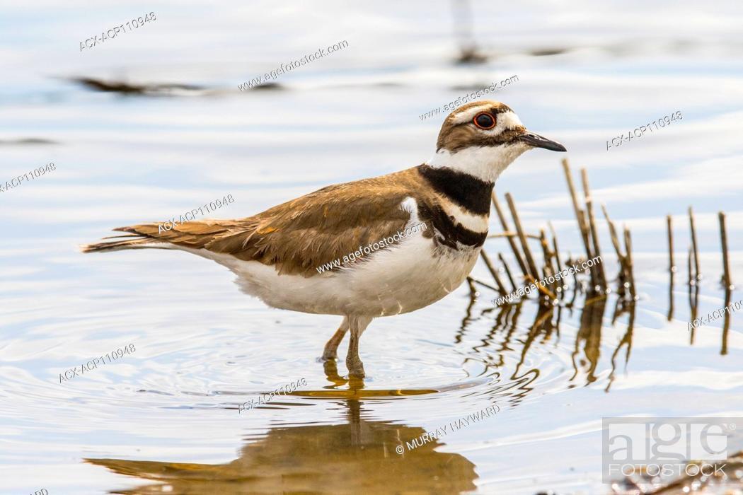 Photo de stock: Killdeer (Charadrius vociferus) On the shoreline at Weed Lake, Alberta, Canada.