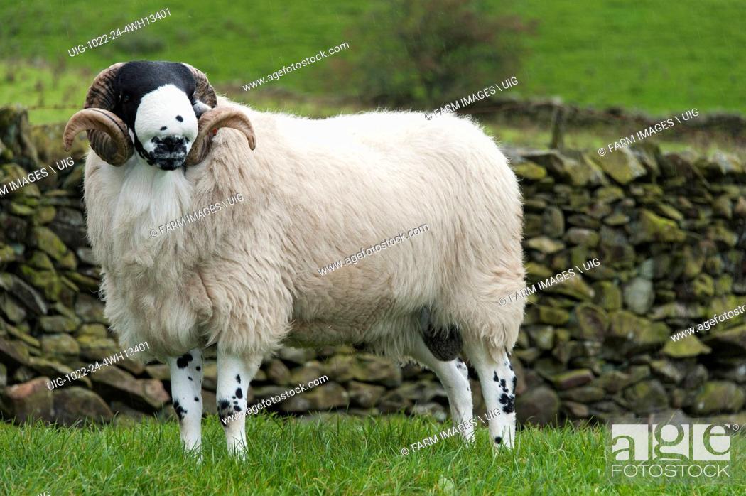 Stock Photo: Rough Fell shearling rams.