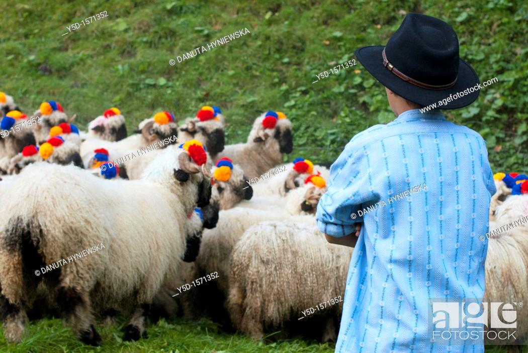 Stock Photo: herd of sheep, decorated with flowers, guarded by young boy, Switzerland, Fribourg canton.
