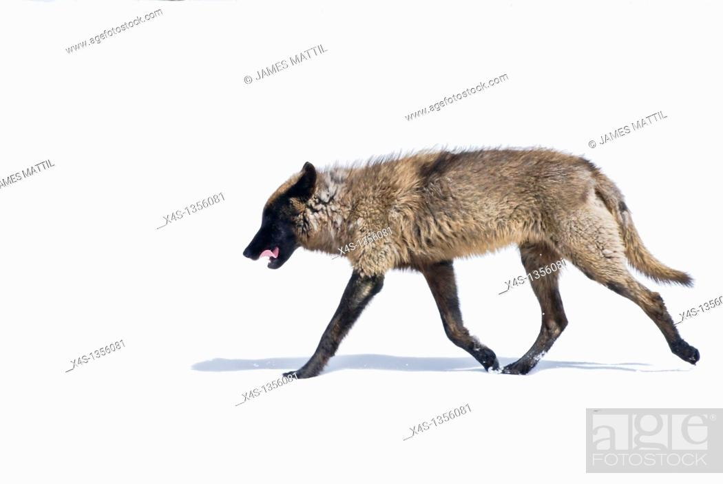 Stock Photo: A lone grey wolf strolls across a snow covered meadow in Yellowstone Park with curled tongue and fangs.