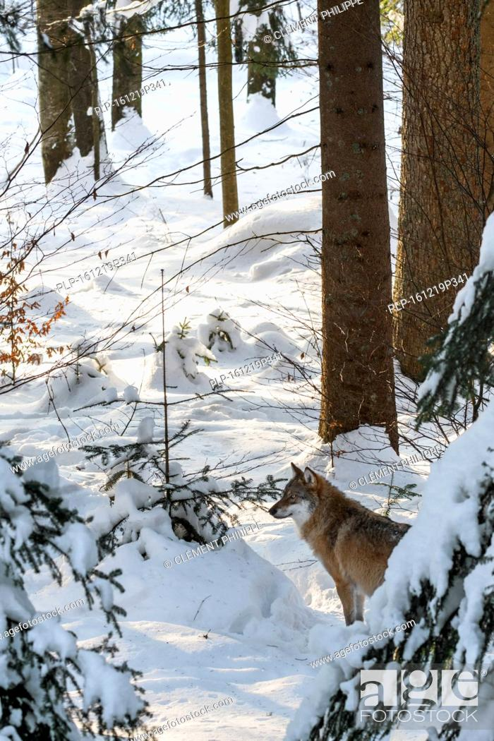 Stock Photo: Solitary gray wolf / grey wolf (Canis lupus) hunting in pine forest covered in snow in winter.