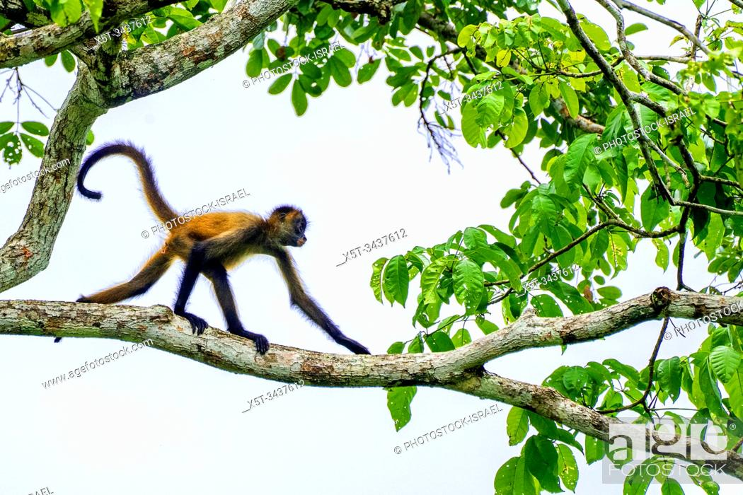 Stock Photo: Juvenile Geoffroy's spider monkey (Ateles geoffroyi) in a treetop. Also known as the black-handed spider monkey, is a species of spider monkey.