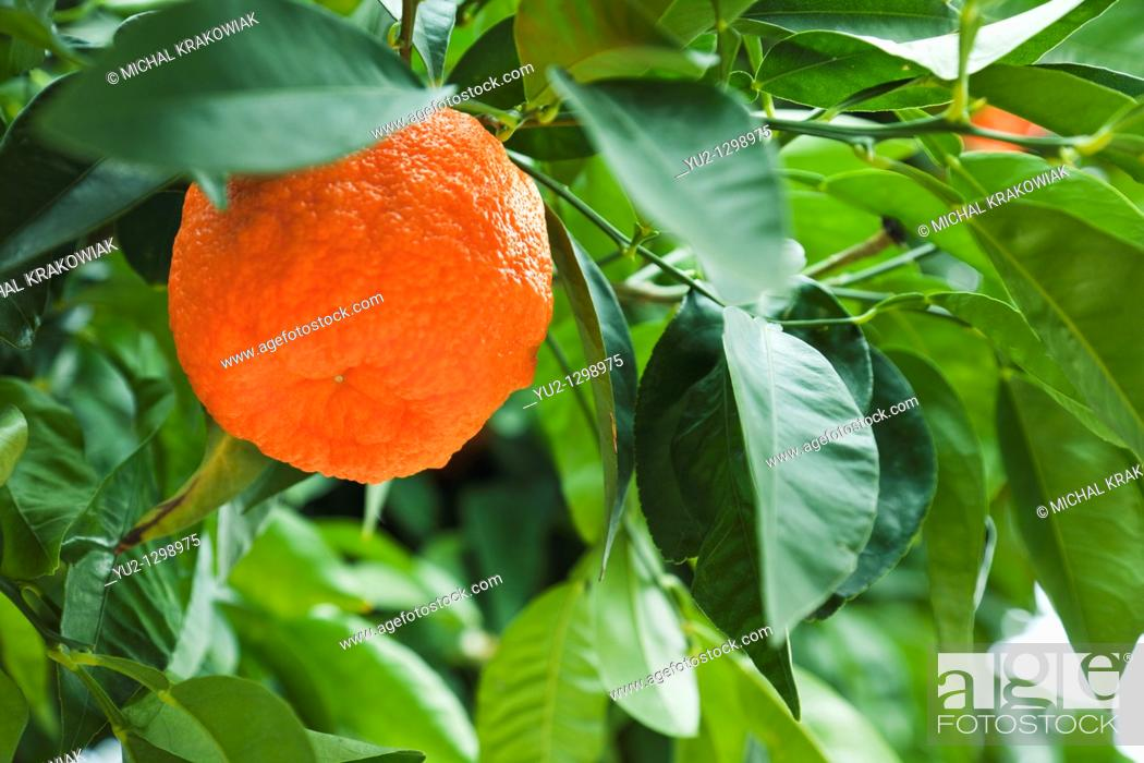 Stock Photo: Mandarine on tree.