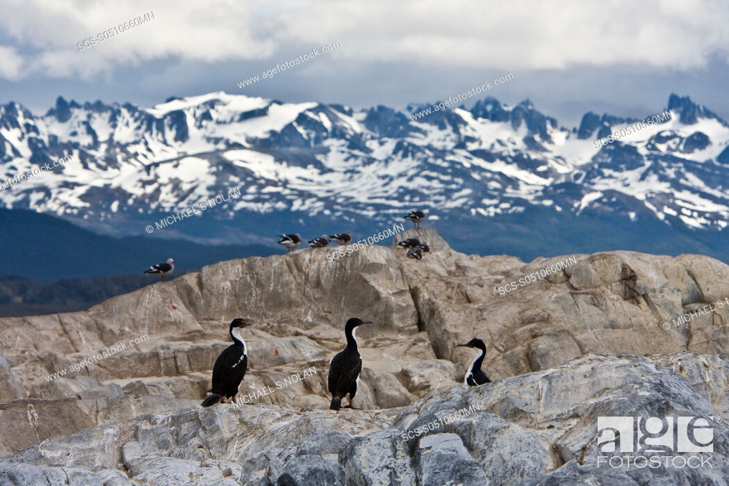 Stock Photo: Adult Imperial Shag Phalacrocorax atriceps from breeding colony on offshore islets in the Beagle Channel coastal southern Chile and Argentina The Imperial Shag.