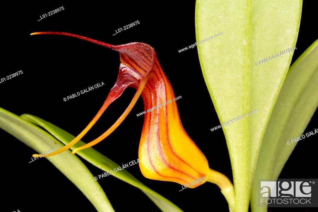 Imagen: Masdevallia filaria (orquídea de los Andes).