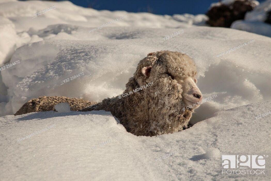 Imagen: Merino sheep stuck in fresh snowfall, weak after being stranded for three days, Glentanner Station, Ben Ohau Range, winter in Canterbury.