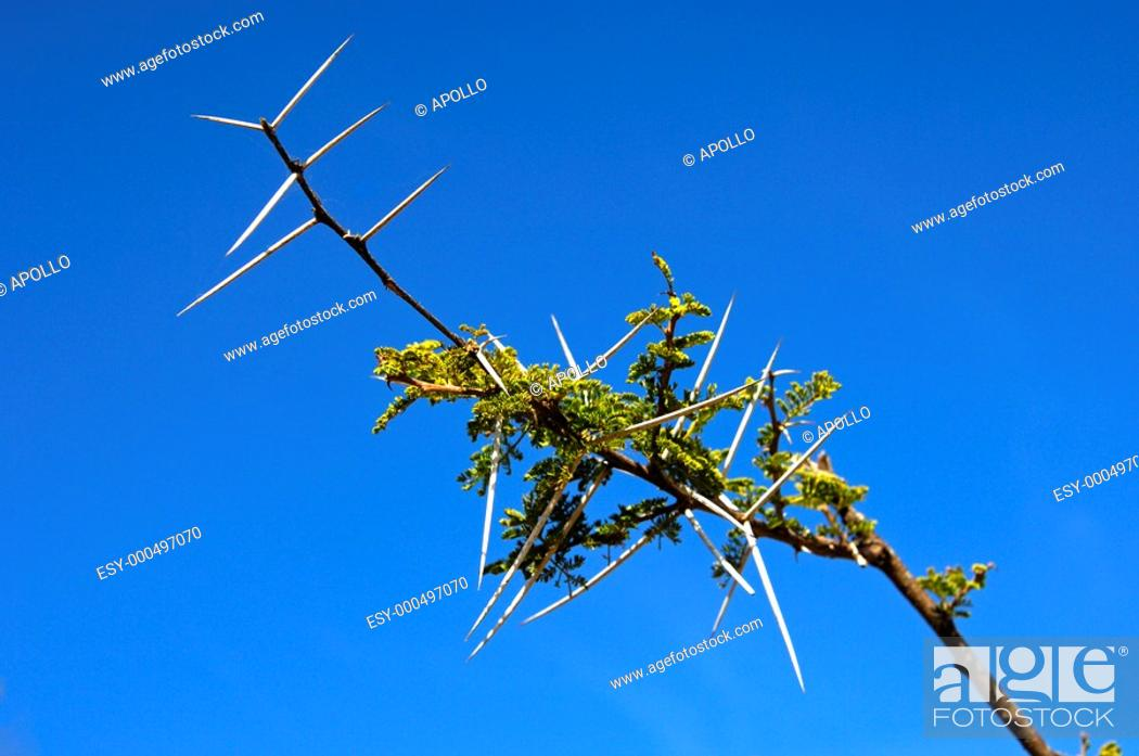 Stock Photo: Twig of Sweet Thorn with shapr thorns, Acacia Karoo, Madikwe Game reserve, South Africa.