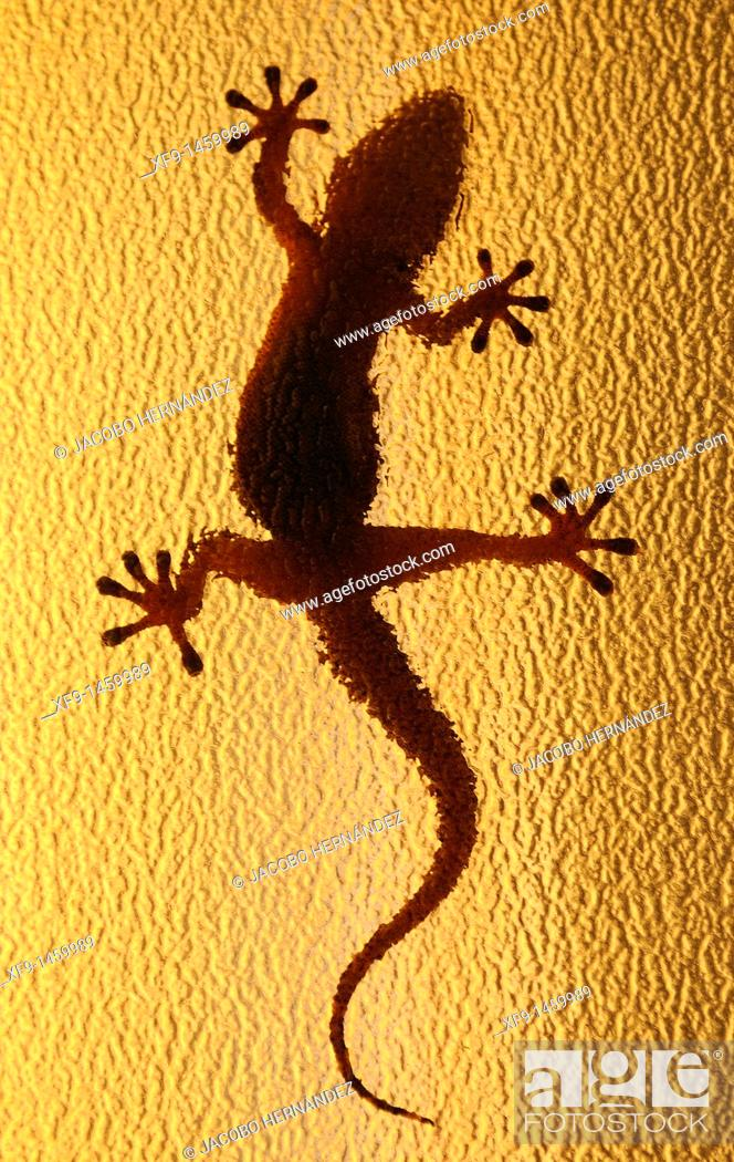 Stock Photo: Moorish Gecko. Tarentola mauritanica. Badajoz. Extremadura. Spain.