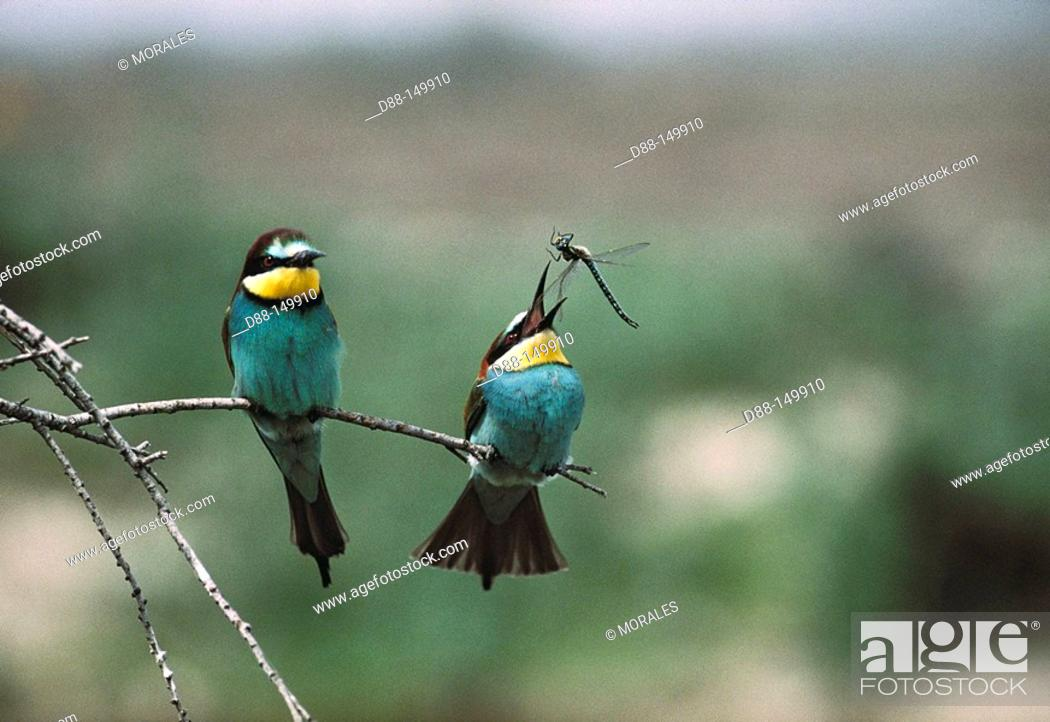 Stock Photo: European Bee-eater (Merops apiaster).