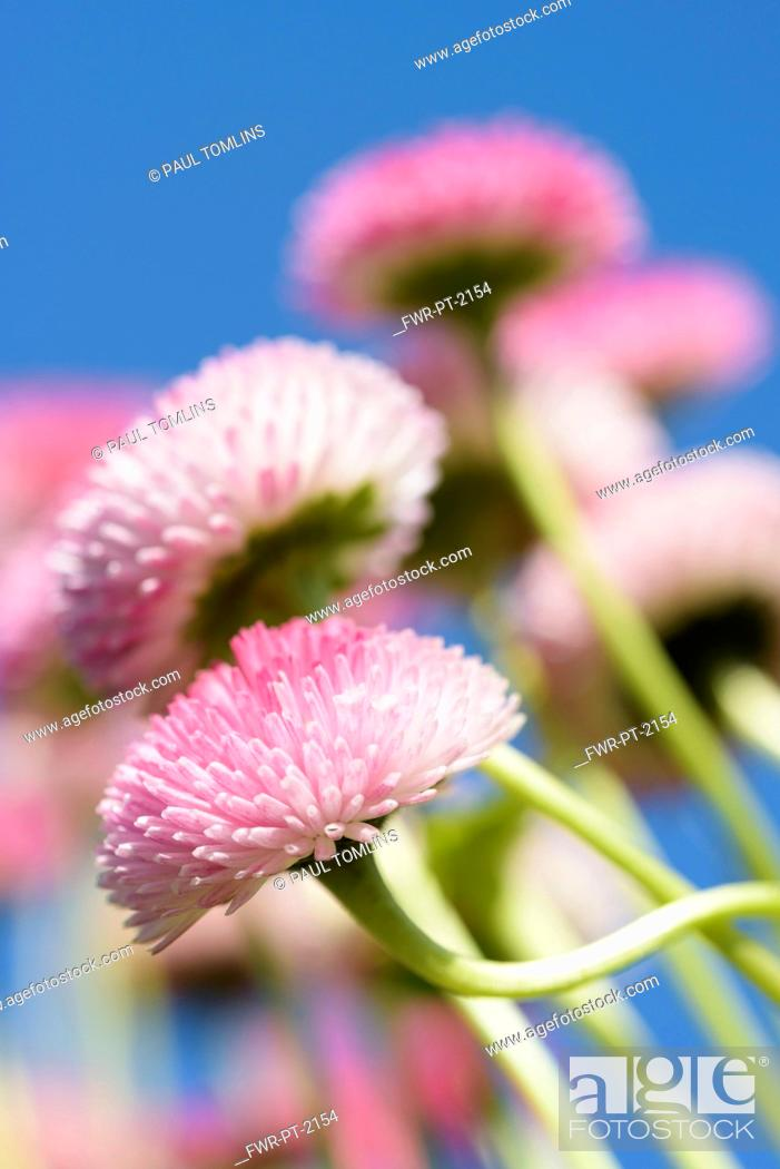 Imagen: Daisy, Double daisy, Bellis perennis, side view of pink flowers growing outdoor. with blue sky behind.