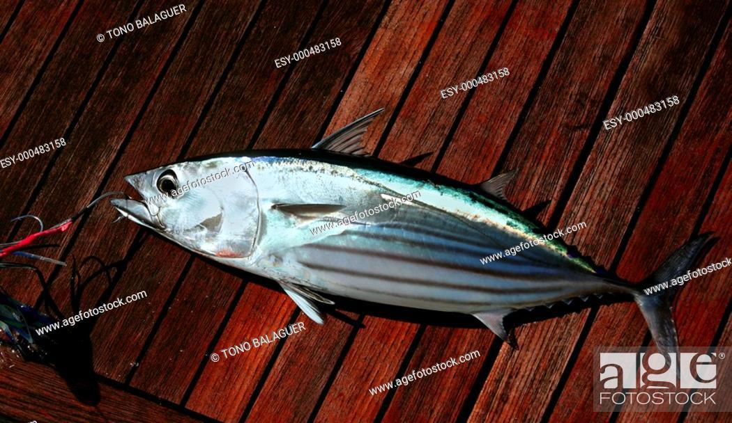 Photo de stock: Catch skipjack tuna fish portrait detail Atlantic seafood.