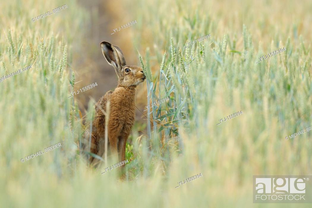 Stock Photo: European brown hare in wheat field, Lepus europaeus, Hessen, Germany, Europe.