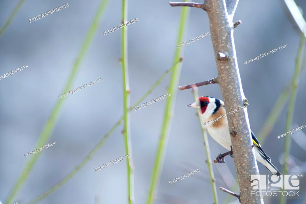 Stock Photo: European goldfinch (Carduelis carduelis).