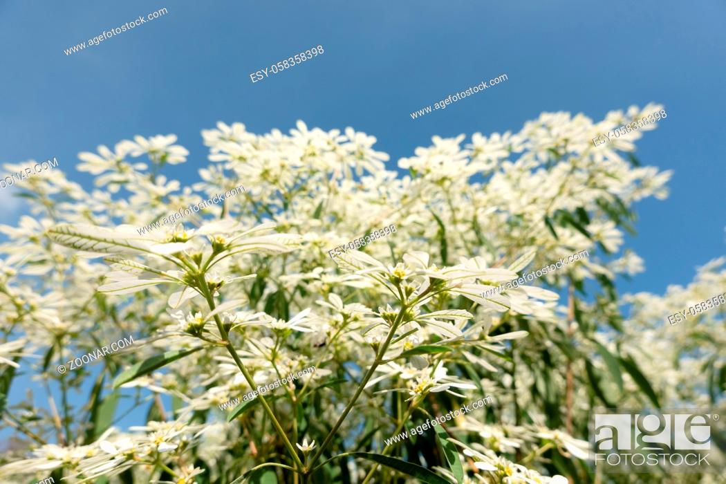 Stock Photo: white pascuita flowers, closeup image in the daytime.