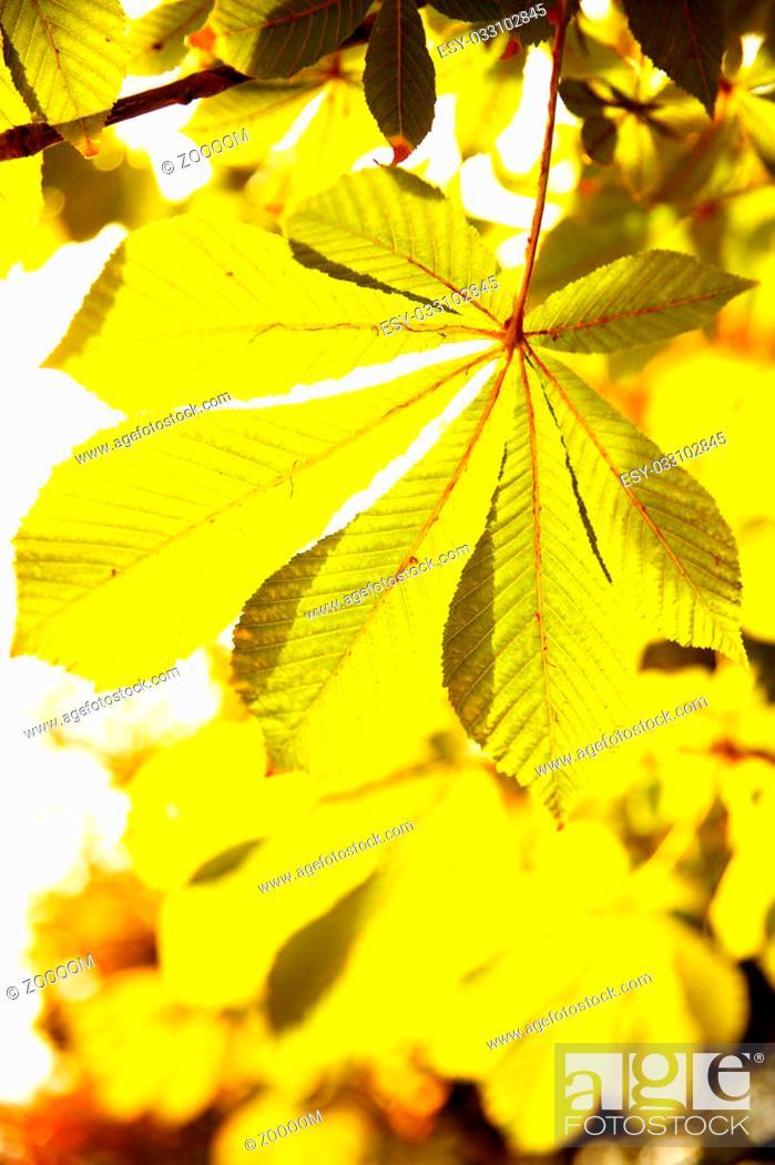 Stock Photo: Leaves of chestnut in sunlight. Shallow DOF!.