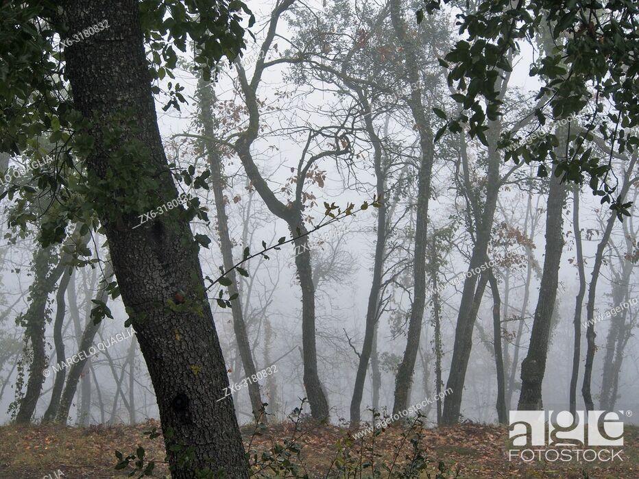 Stock Photo: Misty winter morning at Oak tree forest (Quercus robur). Lluçanès region, Barcelona province, Catalonia, Spain.