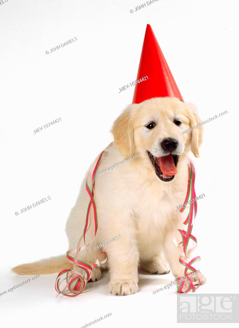 Golden Retriever Puppy Dog Wearing Party Hat And Streamer Stock