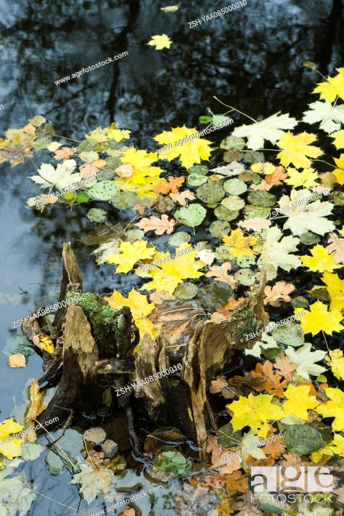 Stock Photo: Autumn leaves floating on surface of pond.