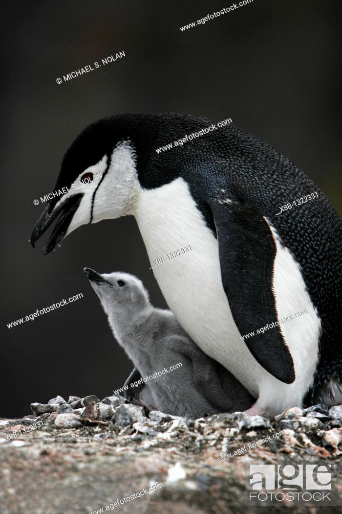 Stock Photo: Chinstrap penguin Pygoscelis antarctica parent with downy chick on Deception Island, Antarctic Peninsula.