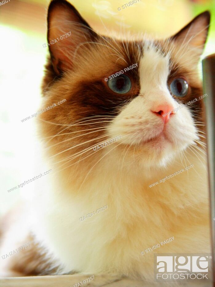 Stock Photo: Close-up of a cat Ragdoll.