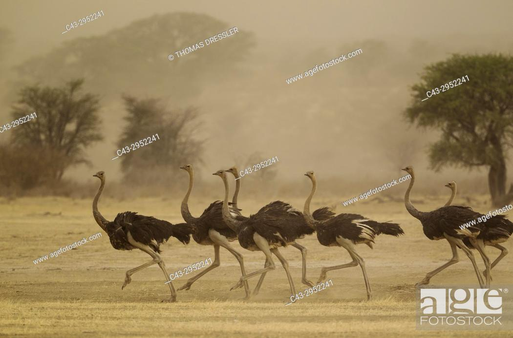 Stock Photo: Ostrich (Struthio camelus). Running females as a sandstorm approaches. Kalahari Desert, Kgalagadi Transfrontier Park, South Africa.