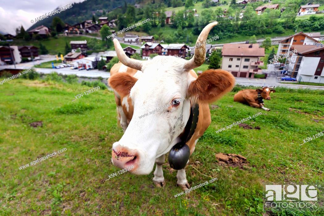 Stock Photo: Cow, Switzerland.