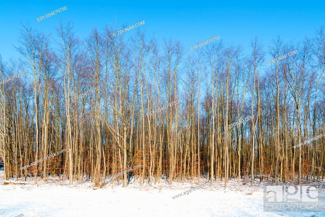 Stock Photo: Bare trees in Dutch winter landscape of Flevoland.