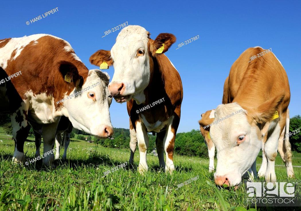 Cows With Nose Rings On A Meadow Near Habach Pfaffenwinkel Region