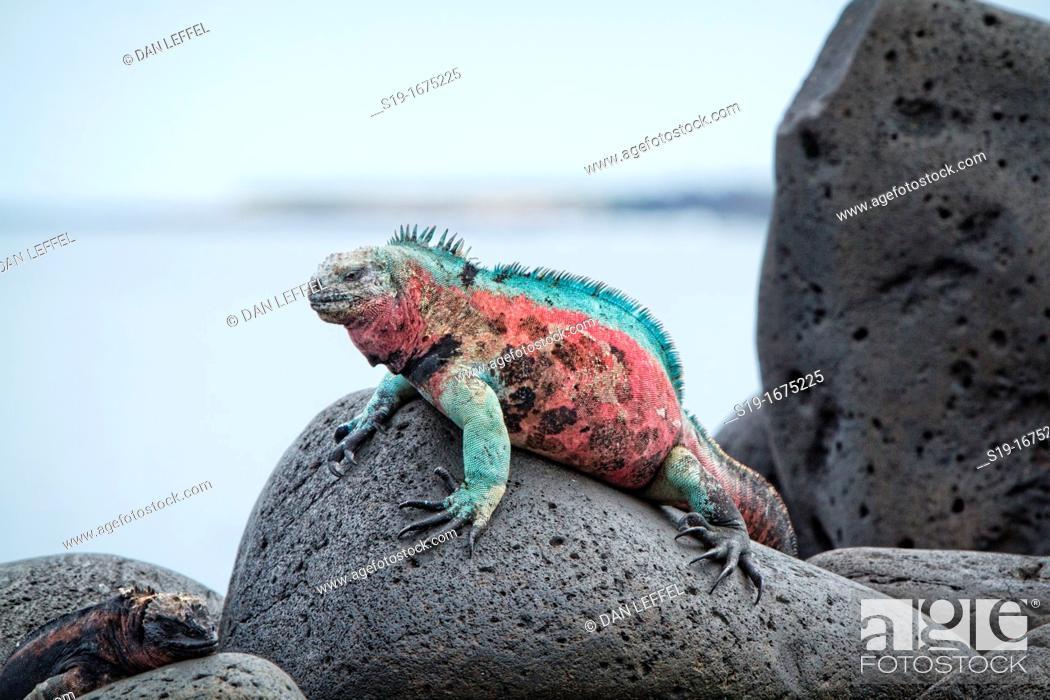 Stock Photo: Christmas Iguana, Galapagos Islands.