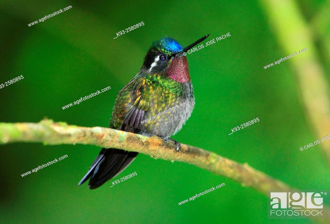Stock Photo: Purple-throated mountaingem (Lampornis calolaemus). Monteverde, Costa Rica.