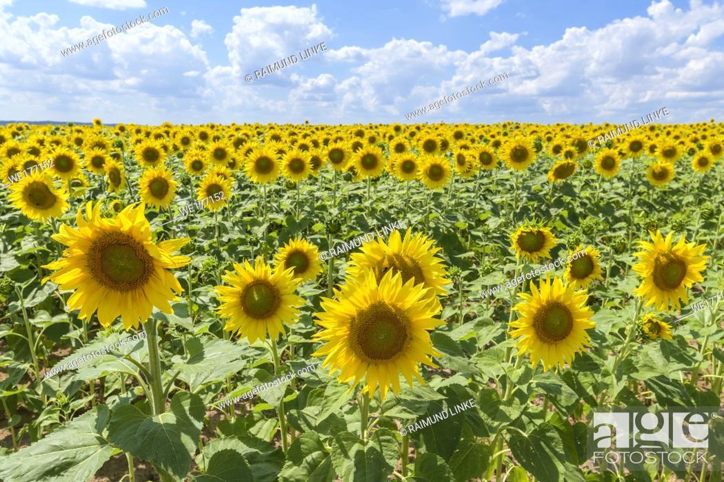 Stock Photo: Blooming sunflower field in summer, Sternberg, Grabfeld, Bavaria, Germany.