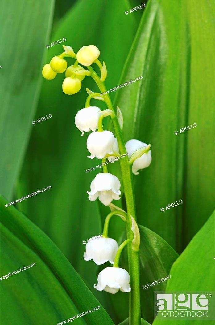 Stock Photo: Lily of the Valley, Convallaria majalis, Asparagaceae.
