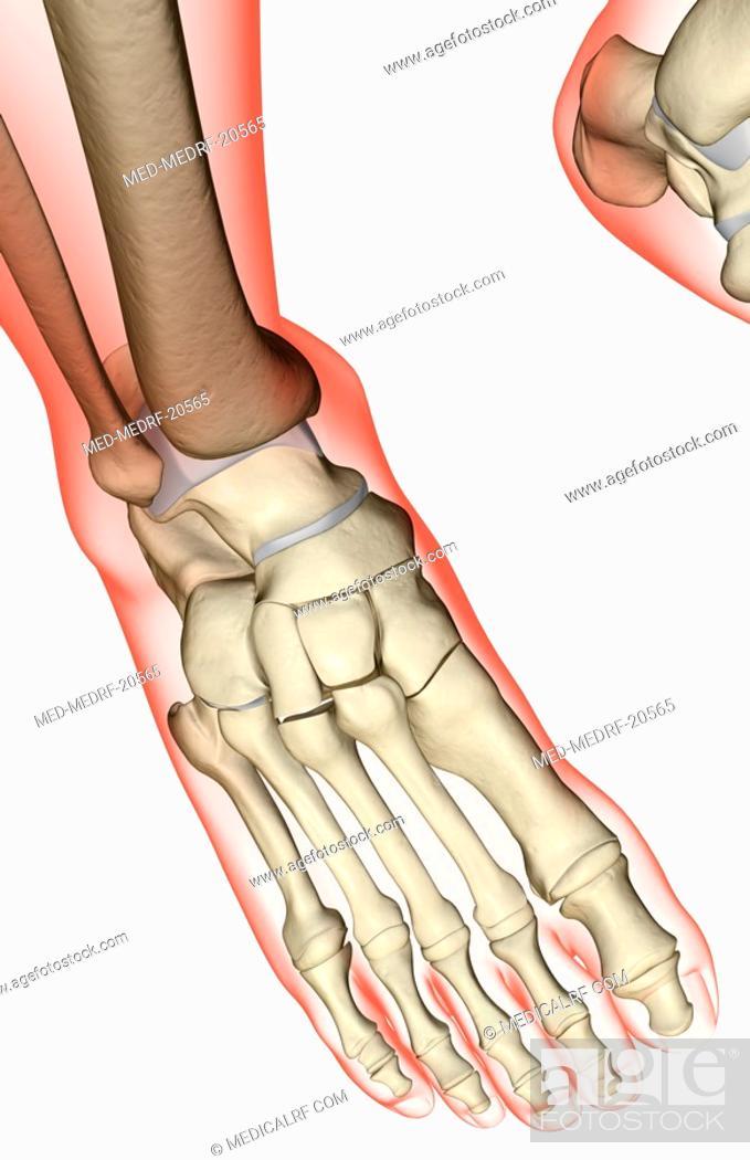 Stock Photo: The bones of the foot.