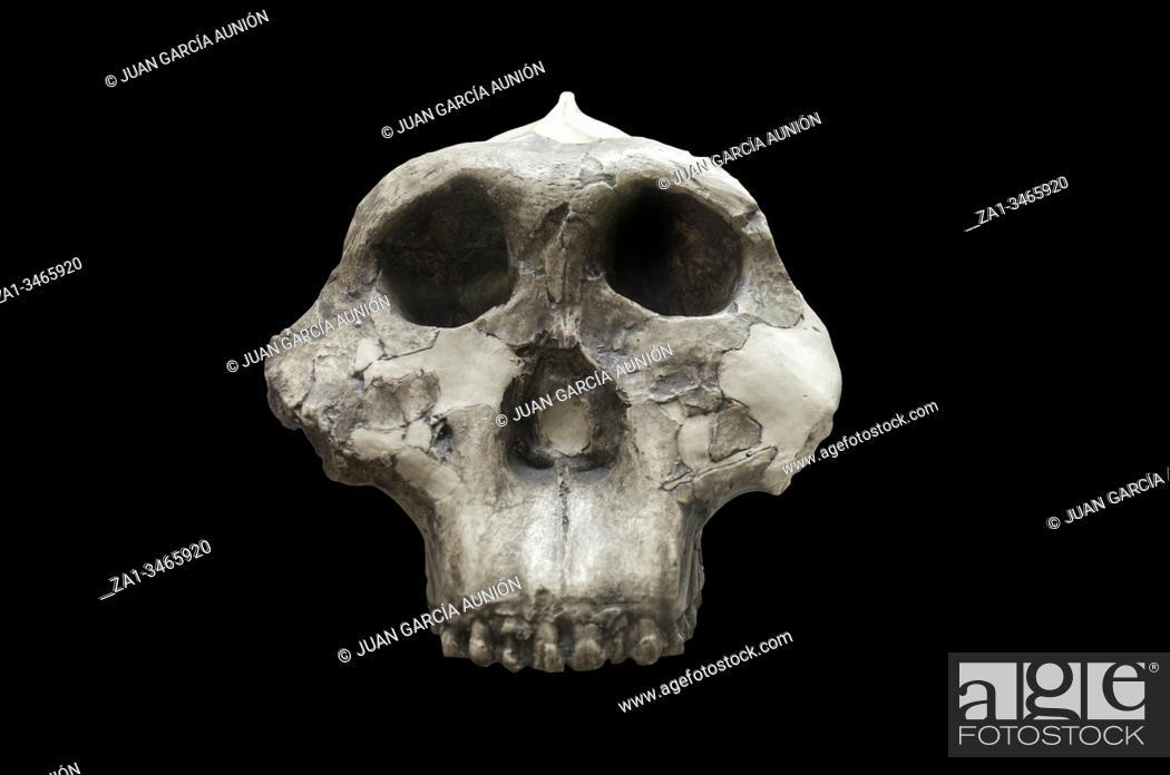 Stock Photo: Skull of paranthropus boisei, replica. Catalan Museum of Archaeology, Barcelona, Spain.