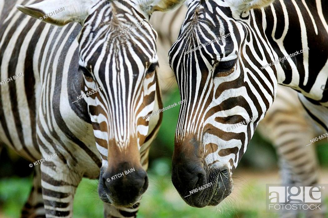 Stock Photo: Zebra.