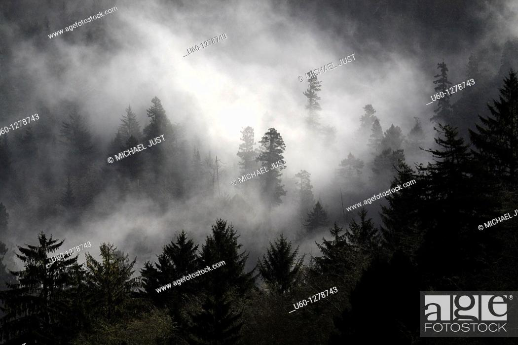 Stock Photo: Morning fog enshrouds a pine tree forest along the Pacific Ocean in Oregon, United States.