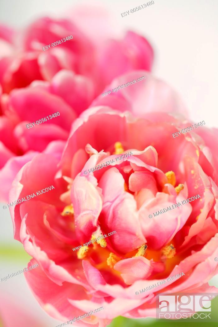 Stock Photo: Close-up of tulips. Selective focus, shallow DOF.