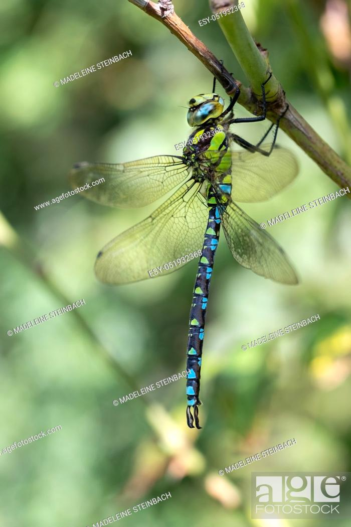 Stock Photo: Southern hawker, or Aeshna cyanea dragonfly sitting on a branch.